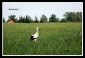 Stork in field by declaudi