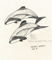 October 10 - Hector's Dolphin by Atolm
