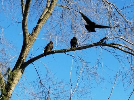 Turkey vultures  by BenjaminCruz1082
