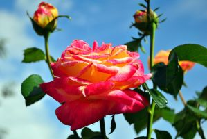 Lake Junaluska 9678 Rose by TommyPropest-Candler