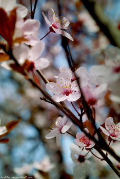 Spring cherry by Hidster