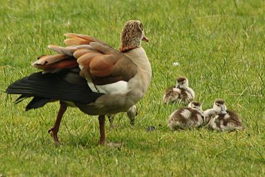 mother the goose by marob0501