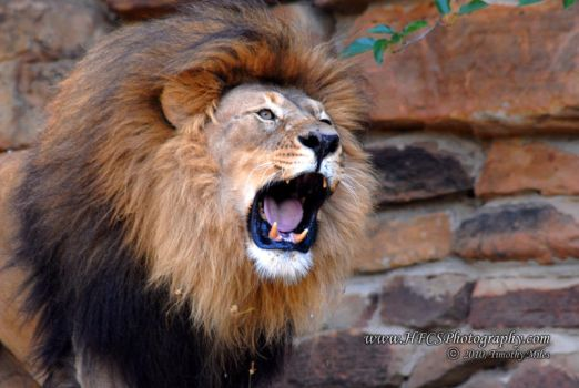 Roaring Lion 1 by HFCS