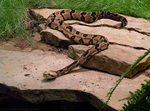 Stepping Stone Snake by Leonca