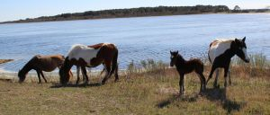 Chincoteague Horses by usedbooks