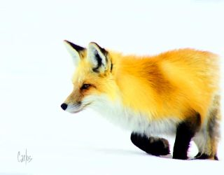 The Red Fox by TomCarlos