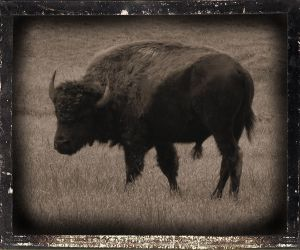 Buffalo by old74