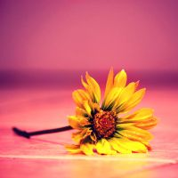 Yellow Daisy by incolor16