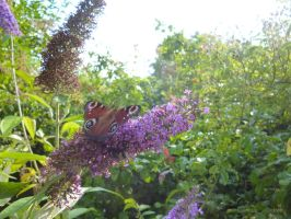 Peacock Butterfly on Buddleia by Candyfloss-Unicorn