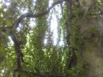 Weeping Beech 2 by Android-shooter