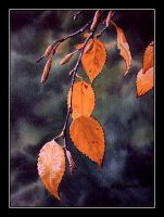 Morning Light on the Birch Leaves by CitizenOlek