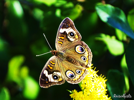 Common Buckeye by RaisedFists