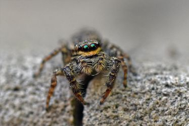 8847 Jumping spider by RealMantis