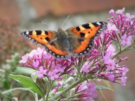 Tortoiseshell Butterfly by Rice3