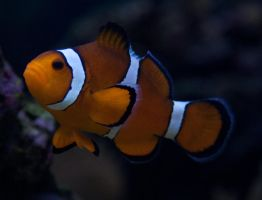 Clown Fish 1 by WhiteWing-Stock-EtAl