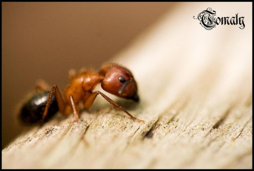 My ant by Tomaly