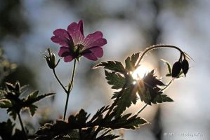Wildflower in the evening sun by MT-Photografien