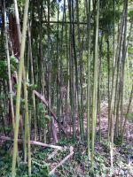 Bamboo 5 by AlissaDStock