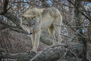 wolf balancing act 2 by Yair-Leibovich