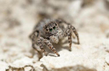 Jumping spider by Wolfenion