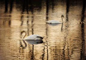 Swans by MoonKey19
