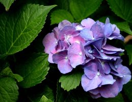 Hydrangea Color by lamsquaw