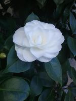 White rose #1 by Kagome1234545