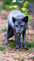 Arctic Fox4 by PictureByPali