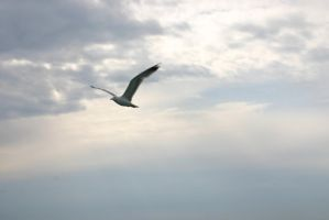 Seagull by Mottcalem