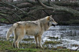 gray wolf 2 by Yair-Leibovich