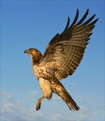 Juvenile Red-tailed Hawk by hey-man-nice-shot