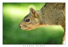 Squirrel Portrait 2 by sergey1984