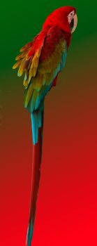 Scarlet Macaw by quintmckown