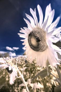 IR Sunflower by Robyn-Eliza