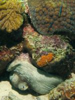 Octopus, Shrimp and Cleaner Gobies by Meagharan