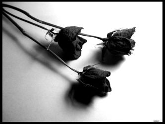 3 dead but beautiful roses by bezman