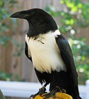 African Pied Crow Stock 1 by HOTNStock