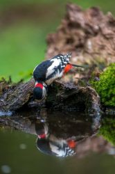 Woodpecker by Perseus67