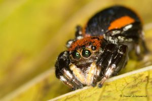 Red and black Salticidae 02 by dllavaneras