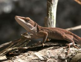 Green Anole 20D0023840 by Cristian-M