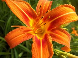 Day Lily 1 by seaglasshunter