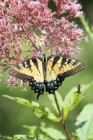 Eastern Tiger Swallowtail by CASPER1830