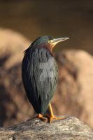 Green Heron Portrait by dlitefulimagez