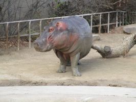 Hippo at the Denver Zoo by kylgrv