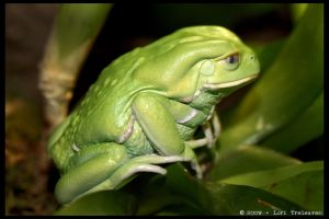Waxy Monkey Tree Frog 2 by Vamppy