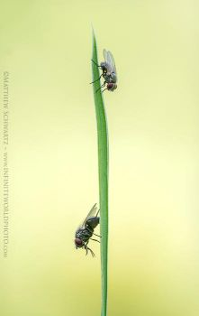 Alternating Flies On Grass by Nature-Photo-Master