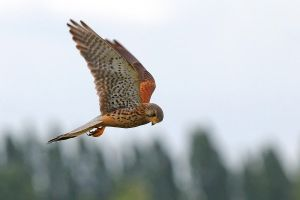 Common Kestrel by Jay-Co