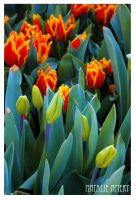 Bowral Tulip Festival by rubyjune
