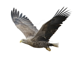 The eagle is in flight. by PRUSSIAART