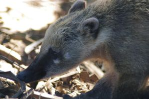 African Coati by Althalore